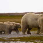 Mother Polar Bear and Cubs
