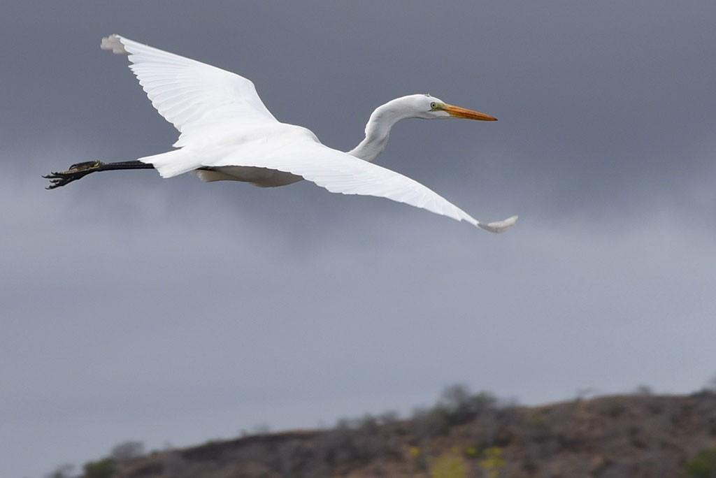 Great Egret | Photo by Brian Monnin