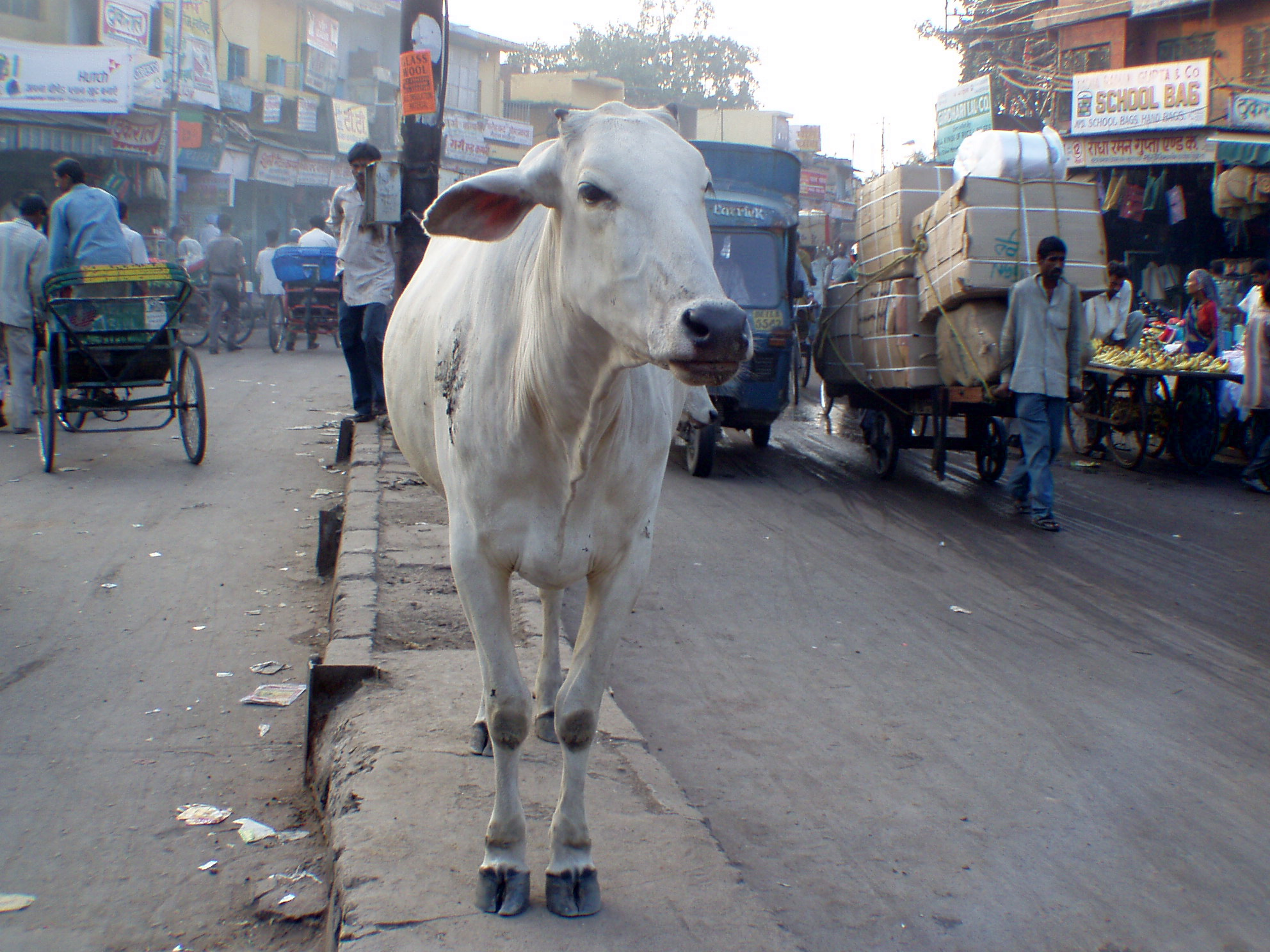 Cow standing in the middle of Chandni Chowk, Delhi